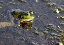 Bullfrog. A bullfrog sitting in a swamp waiting on prey royalty free stock images