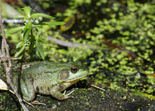 Bullfrog. A bullfrog sitting on a log in a swamp royalty free stock photo