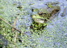 Bullfrog. A bullfrog sitting in a swamp waiting on prey stock images