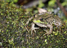 Bullfrog. A bullfrog sitting on a log in a swamp stock photo
