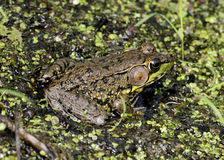 Bullfrog. A bullfrog sitting on a log in a swamp stock photography