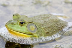 Bullfrog. A large green  male American Bullfrog sitting in shallow water Royalty Free Stock Photos