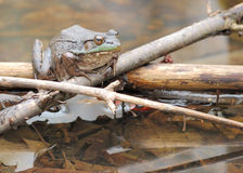 Bullfrog. A bullfrog perched on a log in a marsh royalty free stock images