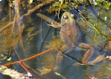 Bullfrog. A bullfrog well concealed in a swamp royalty free stock photography