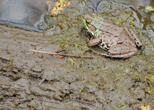 bullfrog Royaltyfri Bild