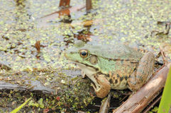 Bullfrog. A bullfrog perched on a log in a swamp royalty free stock photography