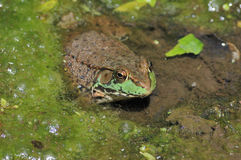 Bullfrog. A bullfrog sitting in the muck of a swamp stock photos