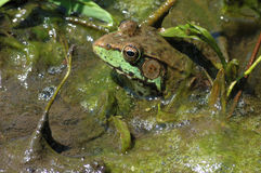 Bullfrog. A bullfrog sitting in the muck of a swamp stock photography