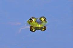 bullfrog Стоковое фото RF