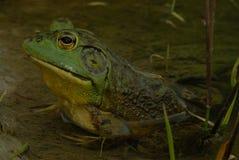 Bullfrog. Natural setting of bullfrog in pond royalty free stock images