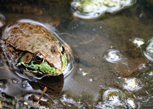 Bullfrog. Close up of a bullfrog well in a swamp royalty free stock photography