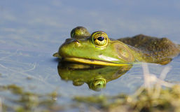 Bullfrog Royalty Free Stock Images
