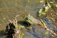 Bullfrog. A bullfrog sitting in shallow water in a swamp stock photos