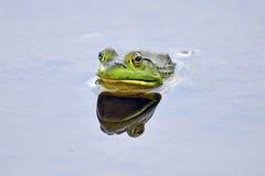 bullfrog Стоковые Изображения RF