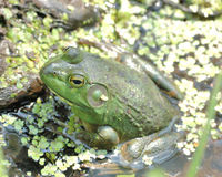 Bullfrog. A bullfrog sitting in a swamp in early summer stock image