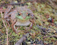 Bullfrog. A bullfrog perched in a swamp looking up royalty free stock photo