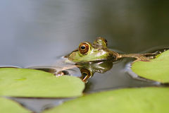 Bullfrog. A bullfrog resting on some lilypads stock photo