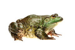 Bullfrog Royalty Free Stock Photos