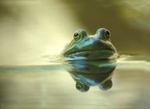 Bullfrog. A bullfrog in a pond is reflected in the water