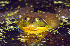 Bullfrog. Looking up from the water stock photo