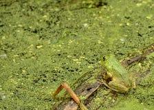 Bullfrog Stock Images