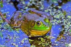 Bullfrog. Sitting in an overgrown pond stock images