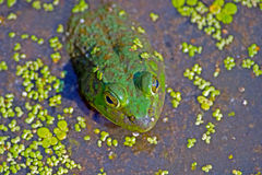 Bullfrog Stock Photography