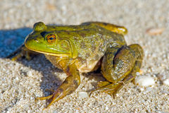 Bullfrog. Sitting on a dirt road Royalty Free Stock Image
