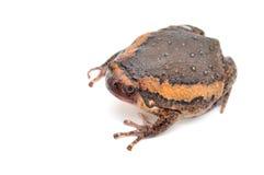 Bullfrog Obraz Royalty Free