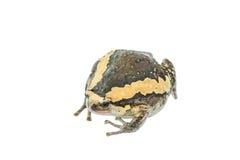 Bullfrog Zdjęcie Stock