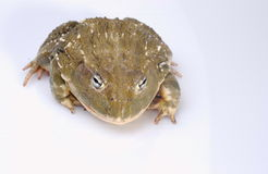 Bullfrog. African Bullfrog on white background royalty free stock photography