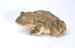 Bullfrog. African Bullfrog on white background stock images