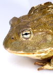 Bullfrog. African Bullfrog on white background stock photography