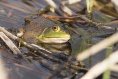 bullfrog Στοκ φωτογραφίες με δικαίωμα ελεύθερης χρήσης