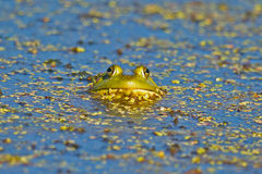 bullfrog Στοκ Εικόνα