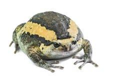 bullfrog Arkivbilder