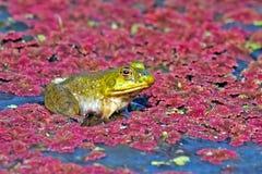 bullfrog Fotografia Stock