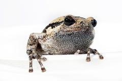 bullfrog Image stock