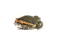 bullfrog Стоковая Фотография RF