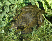 Bullfrog. Hiding in grass and clover Royalty Free Stock Image