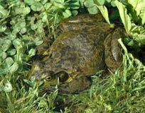 bullfrog Στοκ εικόνα με δικαίωμα ελεύθερης χρήσης