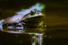 bullfrog Photo stock