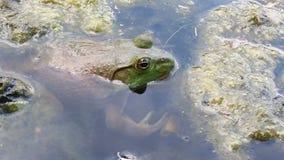 bullfrog Obrazy Stock