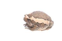 bullfrog Fotografie Stock Libere da Diritti