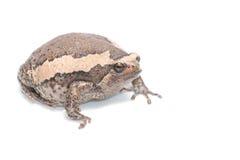 bullfrog Fotografia Stock Libera da Diritti
