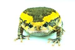 bullfrog Stockbild
