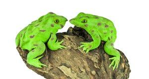 bullfrog Lizenzfreie Stockbilder