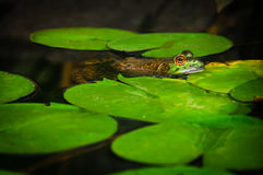 bullfrog Photos libres de droits