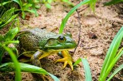 bullfrog Photo stock