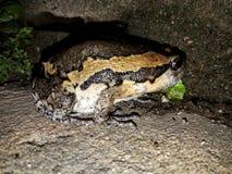 bullfrog Fotografía de archivo libre de regalías
